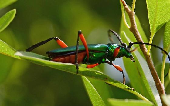 emerald green longhorn beetle? - Plinthocoelium suaveolens