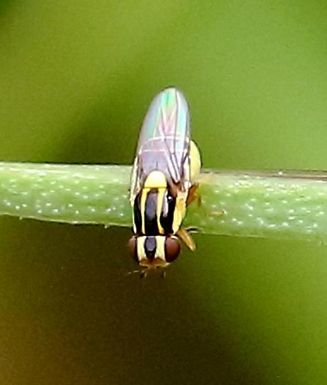 Syrphidae? - Thaumatomyia glabra