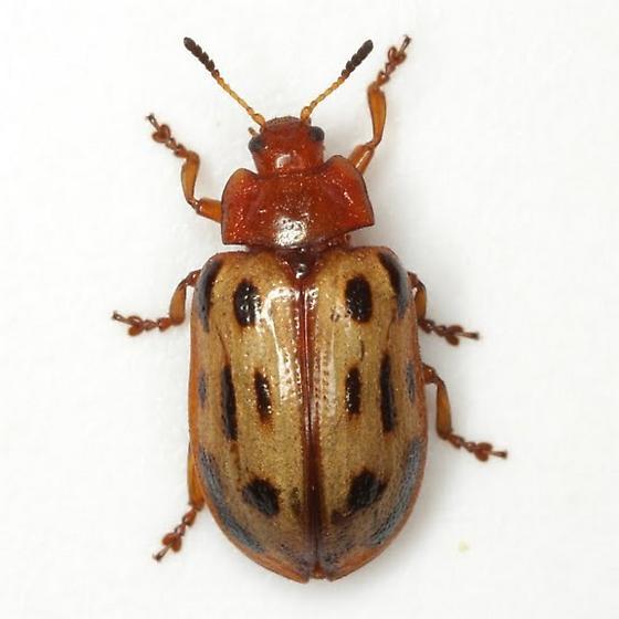 Chrysomela texana (Schaeffer) - Chrysomela texana
