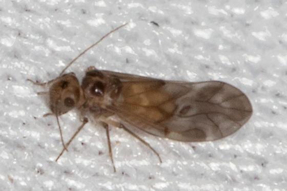 bug - Peripsocus subfasciatus - female
