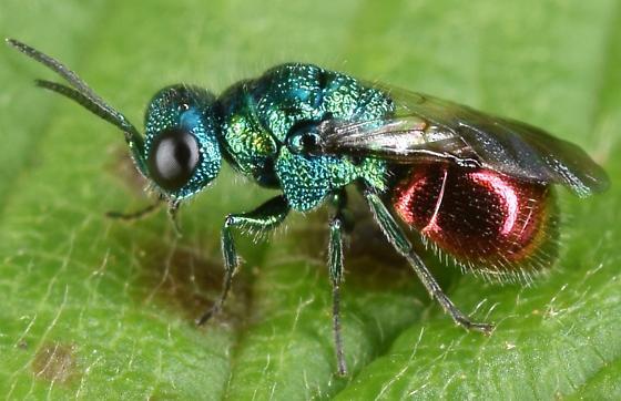 Blue and red wasp - Pseudomalus auratus