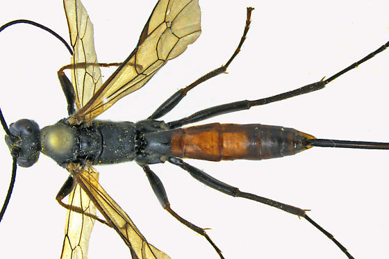 Ichneumon Wasp - female