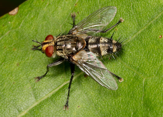 Tachinid fly ? - Exorista dydas - male