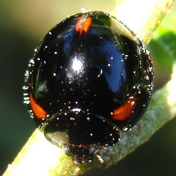 Three-spotted Lady Beetle - Axion tripustulatum