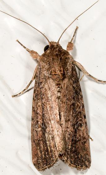 Moth to porch light  - Spodoptera frugiperda