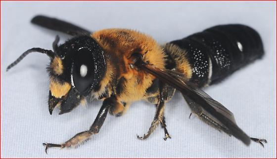 carpenter bee? - Megachile sculpturalis