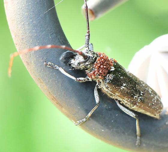 Family Cerambycidae - Long-horned Beetles - Monochamus scutellatus