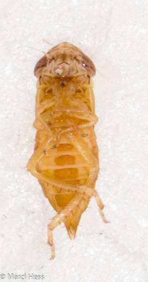 Hemiptera nymph - Doratura stylata