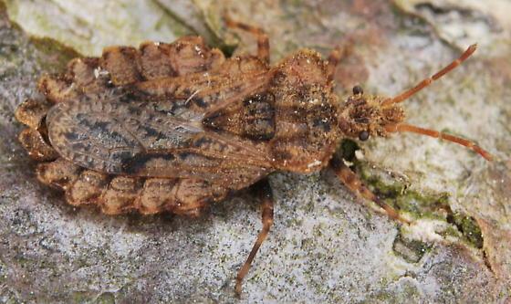 Flat Bug - Aradus crenatus - male
