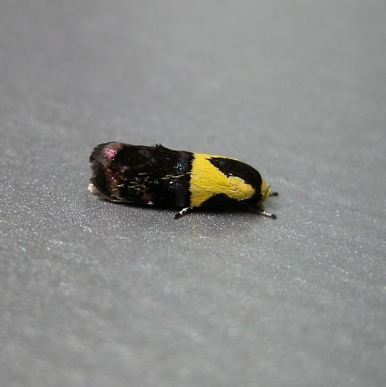 Rectiostoma xanthobasis