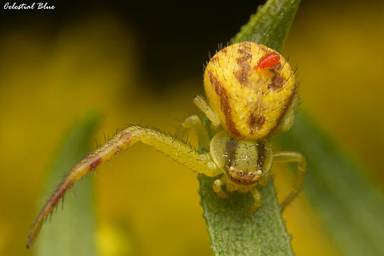 What kind of crab spider is this, and what about that parasitic mite? - Mecaphesa