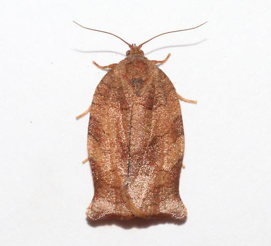 Tortricinae, Oblique-banded Leafroller - Choristoneura rosaceana - female