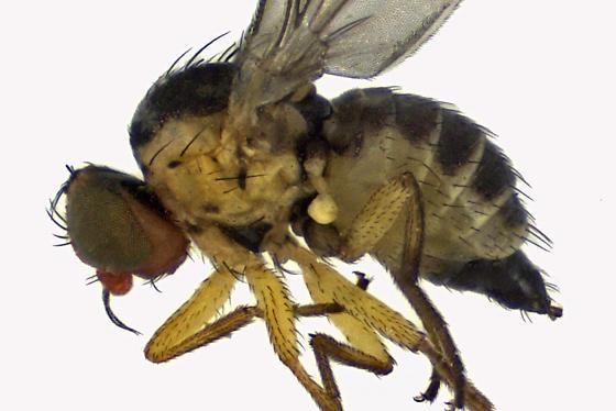 Leaf Miner Fly - Liriomyza