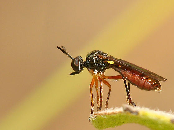 Robberfly - Laphria felis - Dioctria pusio