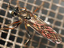 robber fly - Dioctria hyalipennis - female