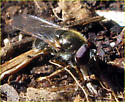 Syrphid Fly - Cheilosia - male