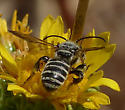 Bee on Curlycup Gumweed - Dieunomia