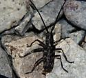longhorn gray textured beetle - Monochamus clamator