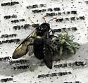 what kind of bee it his? - Cimbex americana