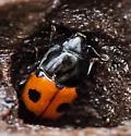 sap-feeding beetle - Glischrochilus sanguinolentus