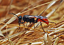 Is this wasp Prionyx? No  - Sphex lucae - female
