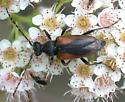 Cerambycid on meadowsweet flowers - Brachyleptura vagans