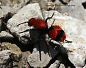 Velvet Ant - Dasymutilla occidentalis