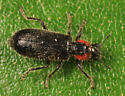 Checkered Beetle - Placopterus thoracicus