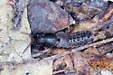 Albemarle Staphylinid - Platydracus maculosus