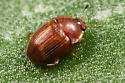 small beetle - Stelidota geminata