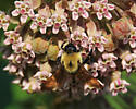 Carpenter Bee or other ? - Bombus griseocollis