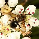 Bee ? - Andrena crataegi