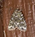 Cryphia olivacea