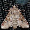 Noctuid Moth  - Apamea sordens