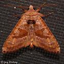 Brown Angle Shades - Hodges#9547 - Phlogophora periculosa