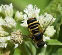 Bee fly - Villa - female