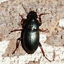 Greenish/blue beetle - Harpalus