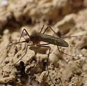Mosquito - Culiseta inornata - female