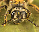 bee - Andrena nasonii - female