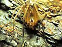 Shy trapdoor spider ? - Kukulcania arizonica
