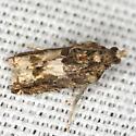 Moth - Crocidosema