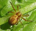 Spider  - Philodromus exilis