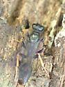 Wasp - Podium luctuosum - female