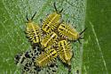 Wild Olive Tortoise Beetle Larvae - Physonota alutacea
