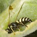 Another Hymenoptera on milkweed - Hoplisoides
