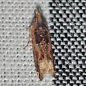 Moth - Crocidosema plebejana - female