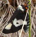 Moth with Black wing with White Bar - Hemileuca maia