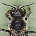 Leafcutter bee - Megachile Montivaga? - Megachile montivaga - female