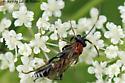 Ichneumon Wasp - Neotypus nobilitator - female