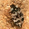 beetle 20 - Anthrenus coloratus